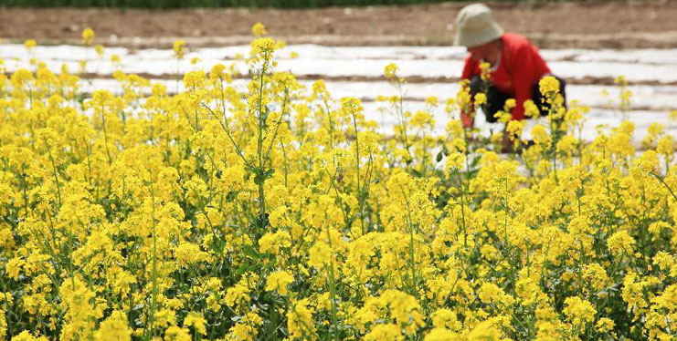 Cole flowers blossom in village of NW China's Gansu
